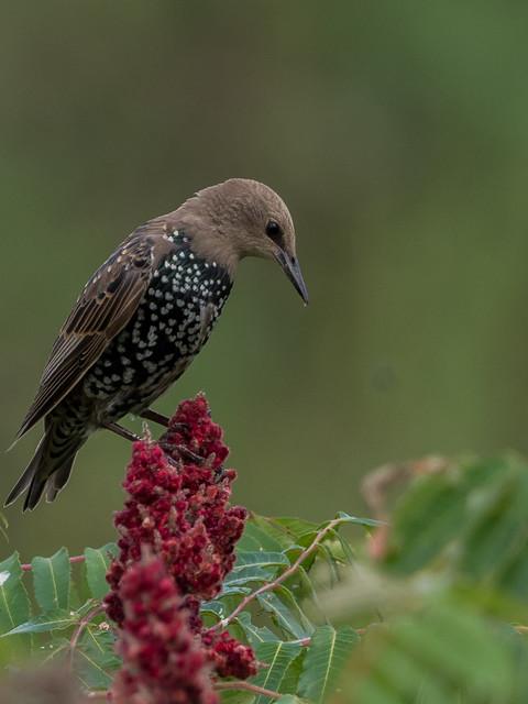 Starling (Immature)