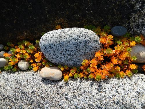 Stoney beach with sedum on the Inishowen Peninsula in Ireland
