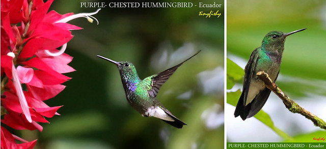 (Species# 1121)  PURPLE-CHESTED HUMMINGBIRD - [ Rio Silenche Bird Sanctuary, Eucador]