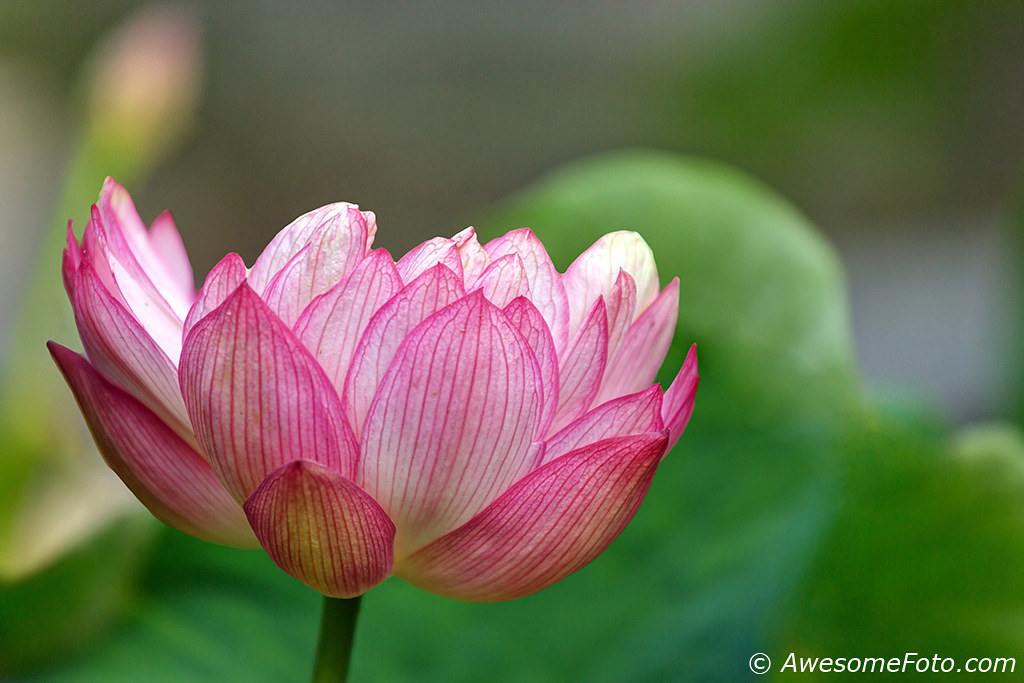 Lotus Flower Chinese Waterlily Taken In A Chinese Temple Flickr
