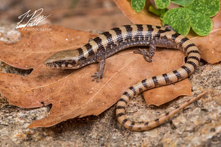 Madrean alligator lizard | by Frank Portillo