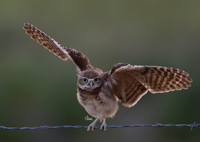 Spread Your Wings and Fly - Young Burrowing Owl Testing his Wings - 5005b+