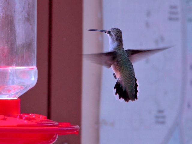Black-chinned Hummingbird 03-20170908