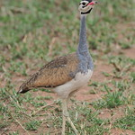 White-bellied bustard (male)