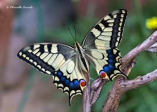 Papilio machaon ♀ - Born today