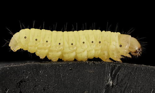 ORIGINAL FILE NAME:  CAPTIONS IN DIFFERENT LANGUAGES: EN: Wasworm (Galleria mellonella) - credits to USGS Bee Inventory and Monitoring Lab - Flickr SV: Vaxmotlarva (Galleria mellonella) - kredit till USGS Bee Inventory and Monitoring Lab - Flickr  LINK IN CAPTION  LINK TO SOURCE: https://www.flickr.com/photos/usgsbiml/19051745004/in/photolist-k9bTF-vYy9ig-v2xb39-dQtRfy-f6NWhX-2bmb2Qv-2bmb3UK-2bmb4HD  IMAGE ADDRESS: https://live.staticflickr.com/441/19051745004_3b713ff5e3.jpg  DOWNLOAD PLATFORM: Flickr  TITLE: G. mellonella larva  KEYWORDS: Waxmoth  AUTHOR: USGS Bee Inventory and Monitoring Lab Follow  - https://www.flickr.com/photos/usgsbiml/  LINK TO AUTHOR'S PAGE: https://www.flickr.com/photos/usgsbiml/  COMMENTS:   COPYRIGHT: USGS Bee Inventory and Monitoring Lab Follow  - Public Domain  THIS INFORMATION WAS RECORDED ON 3.4.2021.