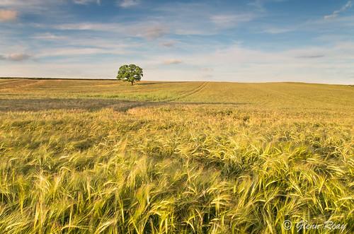 sunset tree field barley clouds golden pentax vibrant crops solitary goldenhour k30 pentaxart glennreay