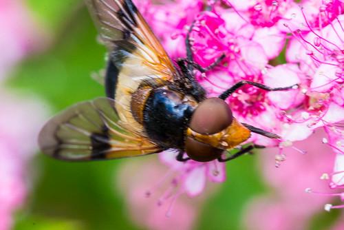 Humleblomsterflue | by ks mikkelsen