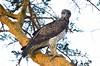 Martial eagle by Ersin Demir