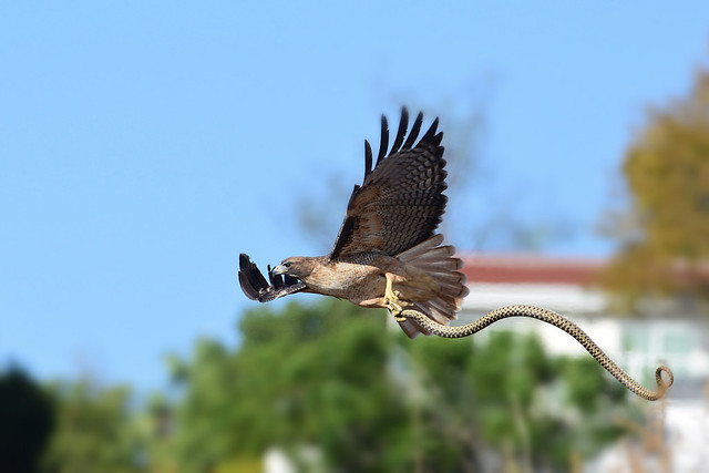 Red-tailed Hawk, hunting snake