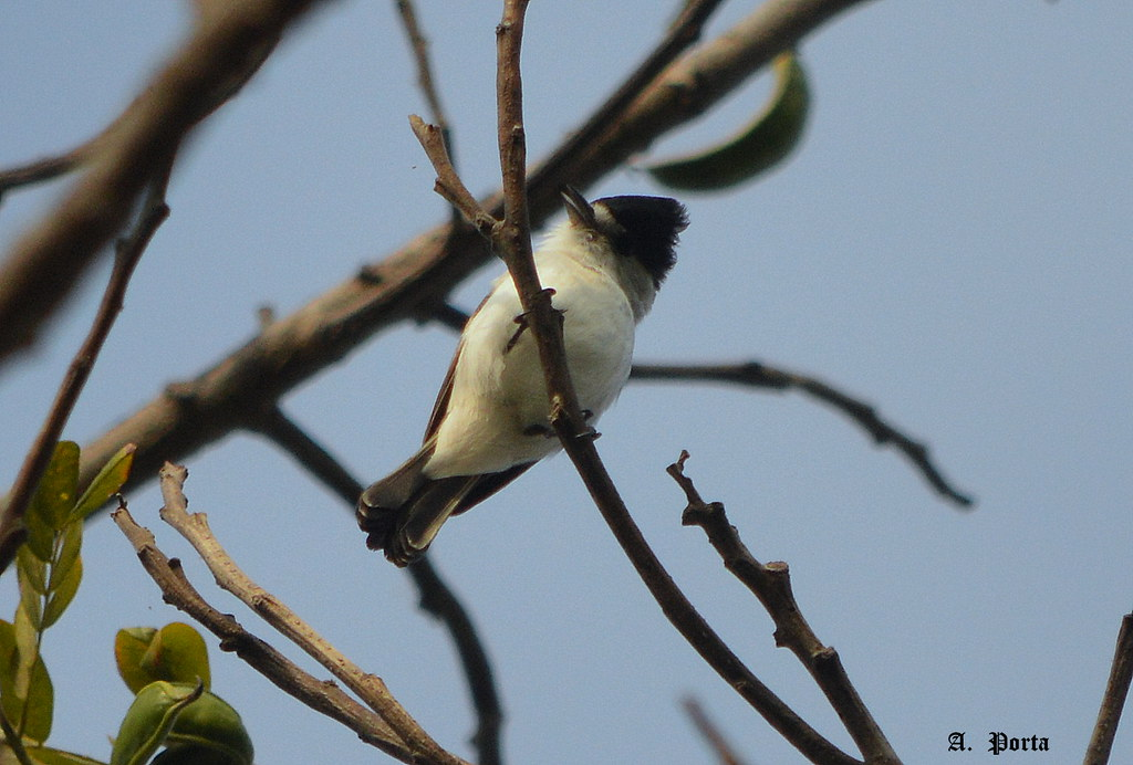 Jipato de Nuca Blanca ( Xenopsaris albinucha) (White-naped Xenopsaris)