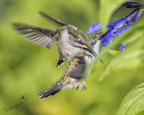 Little bird drama 8-13-17_140   by pmsswim