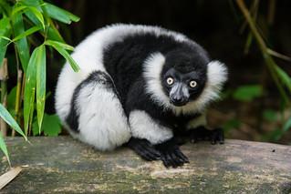 Lemur | by Mathias Appel