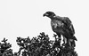 """""""B&W-tailed Eagle"""" by george.julin"""