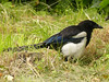 Eurasian Magpie (Pica pica) by Francisco Piedrahita
