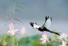 Pheasant-tailed jacana (Hydrophasianus chirurgus) by China (Jiangsu Taizhou)