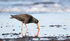 Sooty Oystercatcher ( Haematopus fuliginosus) by patrickkavanagh