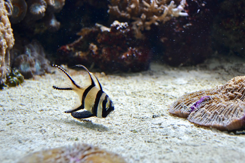 Banggai Cardinalfish (ZSL London Zoo aquarium)