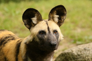 [4606] African wild dog | by zoofanatic