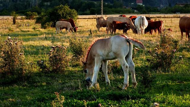Na pastwisku - źrebak i krowy.