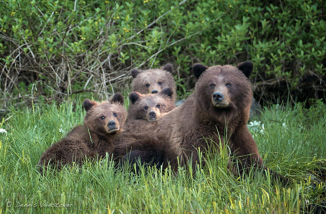 Grizzly Bear sow and curious cubs - Khutzeymateen Grizzly Bear Sanctuary , British Columbia, Canada