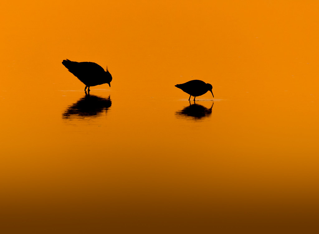 Lapwing and Dunlin at Sunrise