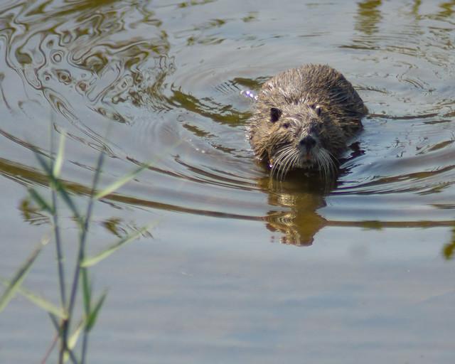 Beaver_3783_France_06-15-17_resized