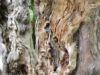 The ancient yew at Farringdon Church