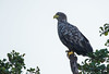 White-tailed Eagle by george.julin