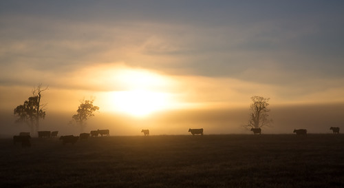 sunrise cows field pasture agriculture tasmania sun fog mist early morning trees farm farming rural carrick