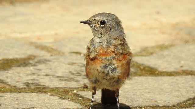 Common Redstart (Phoenicurus phoenicurus) juvenile