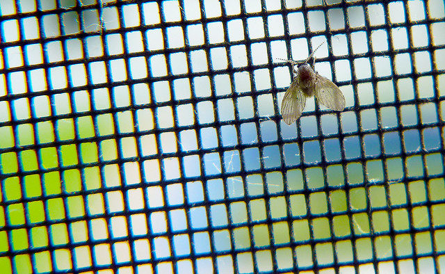 Moth Fly - Clogmia albipunctata on screen
