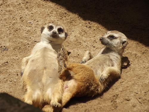 ขอนแก่น สวนสัตว์ animals esarn isaan khonkaen mammals meerkat thailand zoo