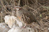 Barbary Partridge by Josh13770