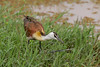 Lesser Jacana by Hector16