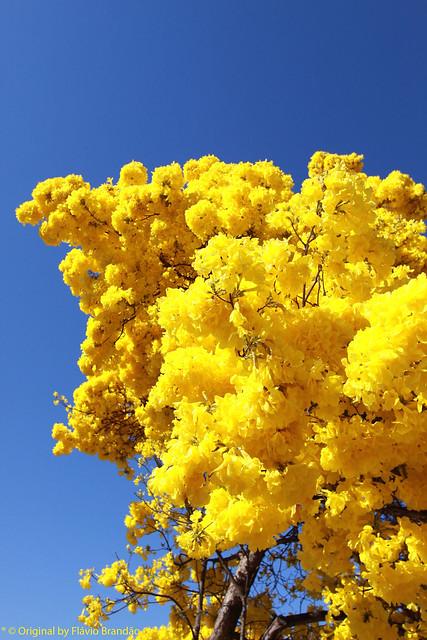 Série com o Ipê-amarelo em Brasília, Brasil - Series with the Trumpet tree, Golden Trumpet Tree, Pau D'arco or Tabebuia in Brasília, Brazil - 20-08-2017 – IMG_7218