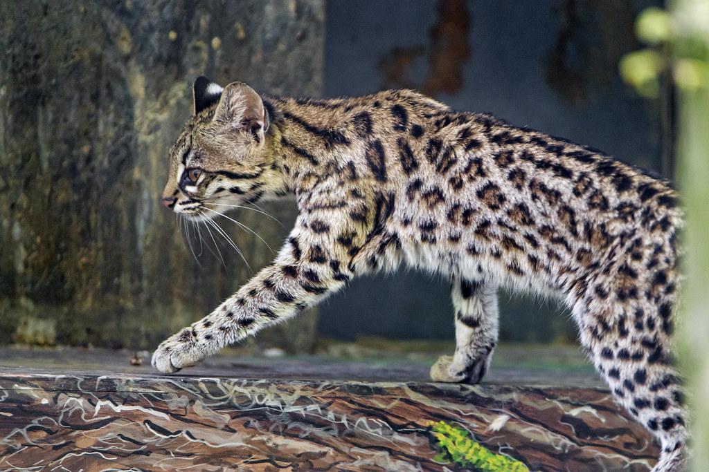 types of wild cats