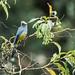 Silky-flycatchers - Ptiliogonatidae