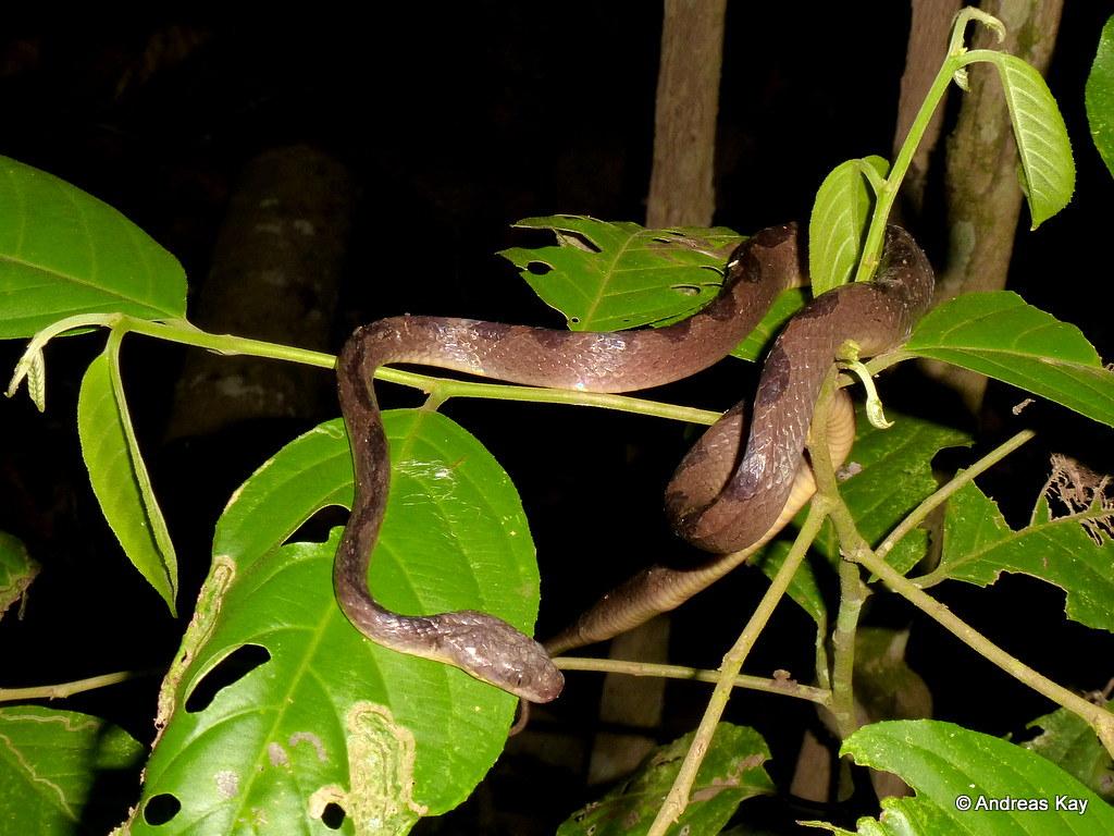 Cat-eyed Snake, Leptodeira annulata
