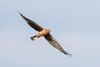 Pallid harrier (Circus macrourus) steppekiekendief by Ron Winkler nature