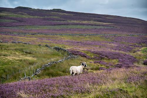 hills sigma nikon heather august summer colours purple sheep landscape