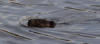 beaver petrie island 11062015_DSC4099 | by David Villeneuve