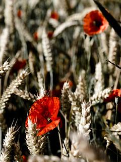 Poppycolor III | by PHOTOGRAPHY Toporowski