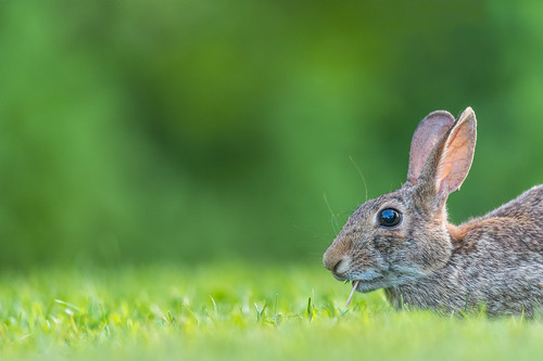 grass bunny wildlife feeding stoneharborwetlandsinstitute cottontail stoneharbor hare easterncottontail green rabbit nature stoneharborpoint animal newjersey unitedstates us summer nikon d500