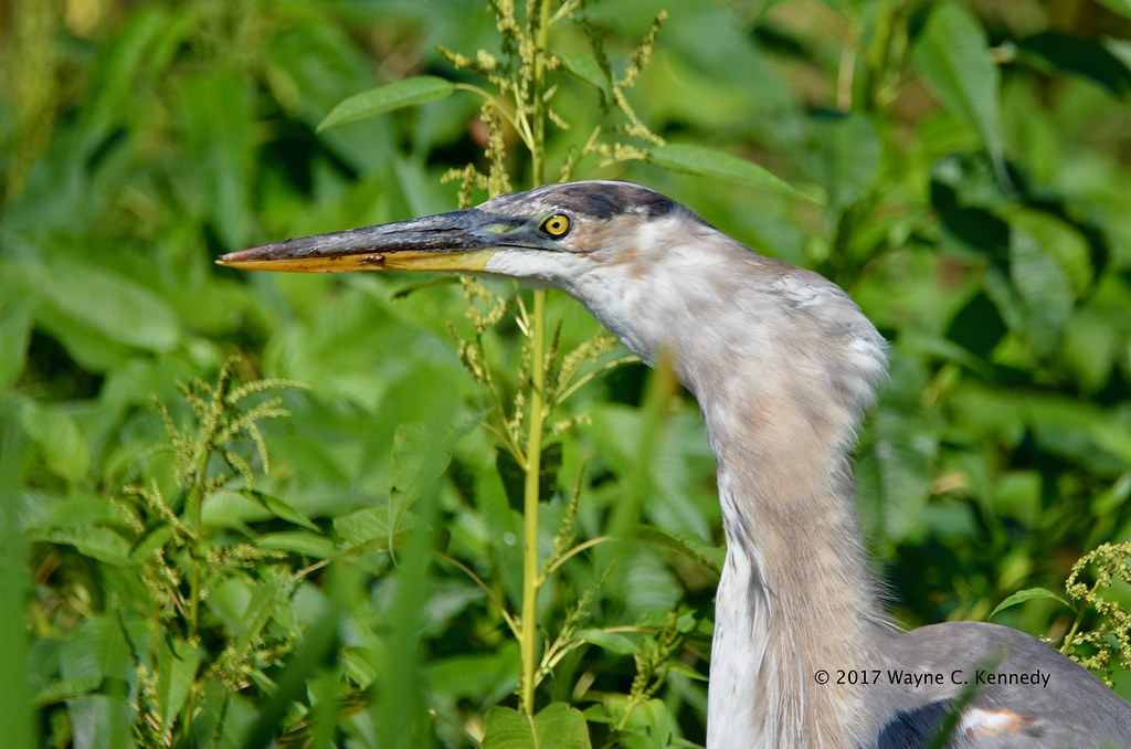Great Blue Heron swallowing catfish - Going Down!