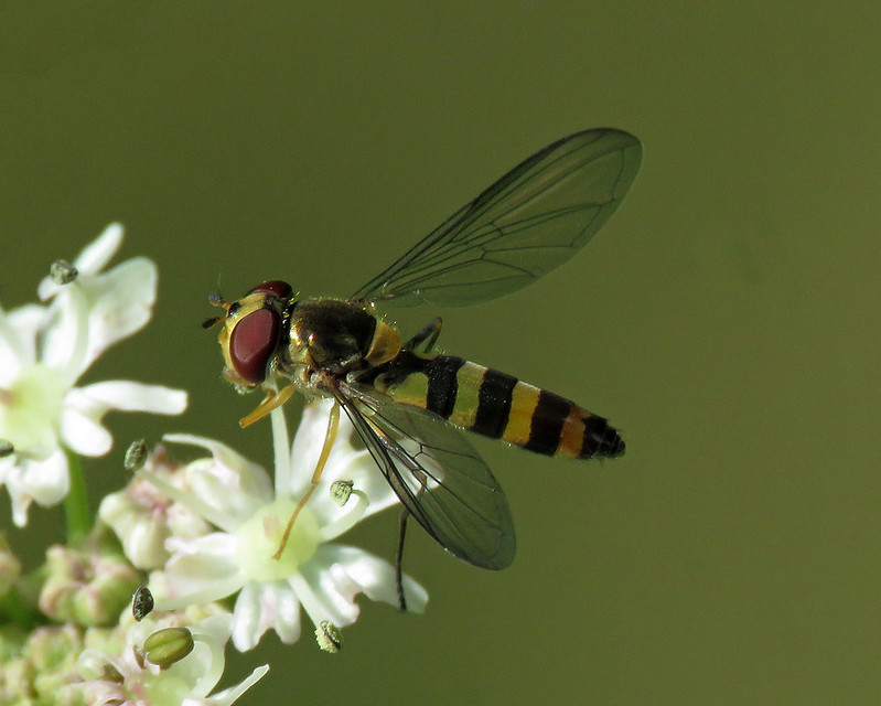 Meliscaeva cinctella