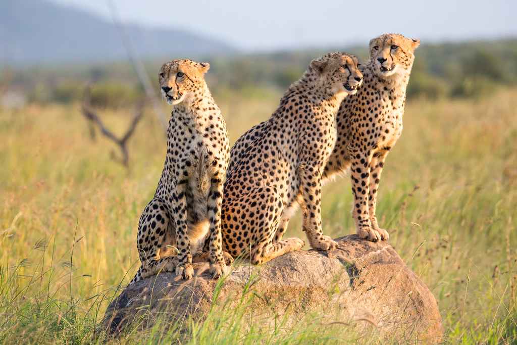 Three young male cheetahs on a rock in Pilanesberg National Park , South Africa