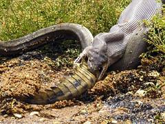 Big Snakes