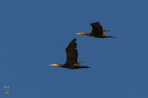 Cormorant 20170912-2900 | by Rob Swain Photography