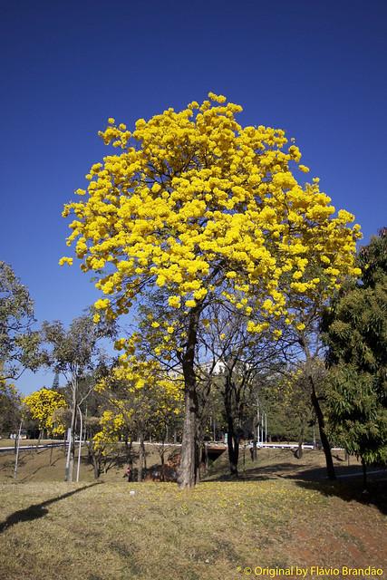 Ipê Amarelo, Tabebuia [chrysotricha or ochracea]. Ipê-amarelo em Brasília, Brasil.